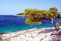 Brac island pine tree