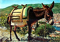 A Dalmatian mule